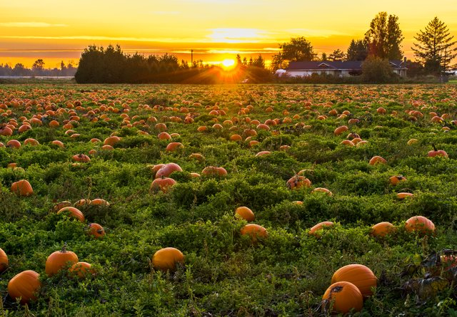 Photo of a field with ripe pumpkins growing in at sunset, with trees and a farmhouse in the distance.